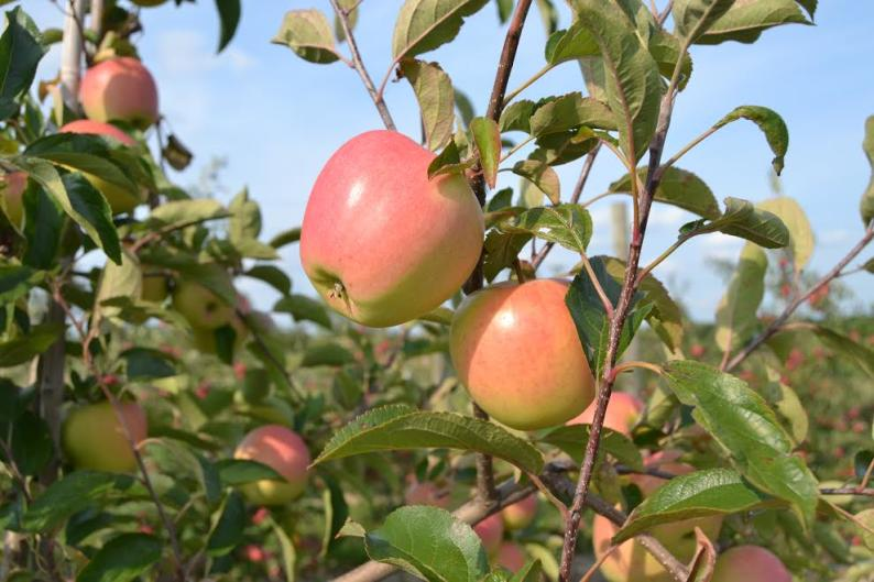 Fact: Fruit Ridge Hayrides is located in one of the state's largest fruit growing regions.