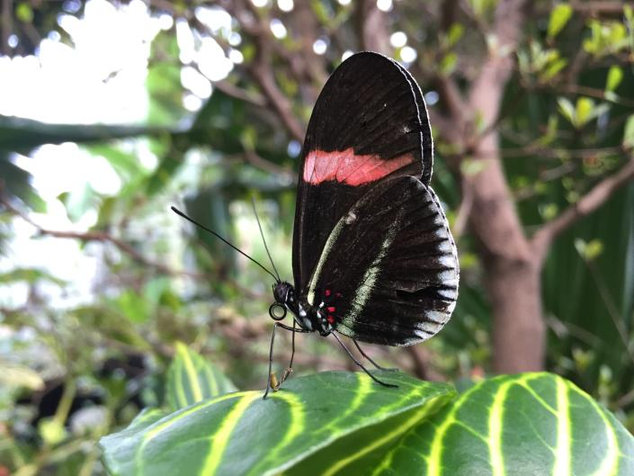 A butterfly perches on a leaf in the Tropical Conservatory at Frederik Meijer Gardens & Sculpture Park.