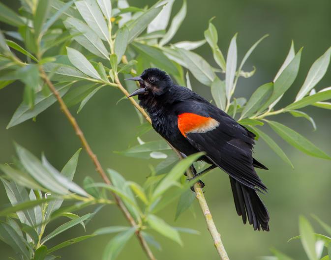 Red-winged Blackbird singing at Waterfront Park at Reeds Lake.