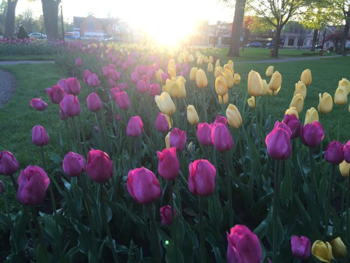 Tulips at the 90th annual Tulip Time