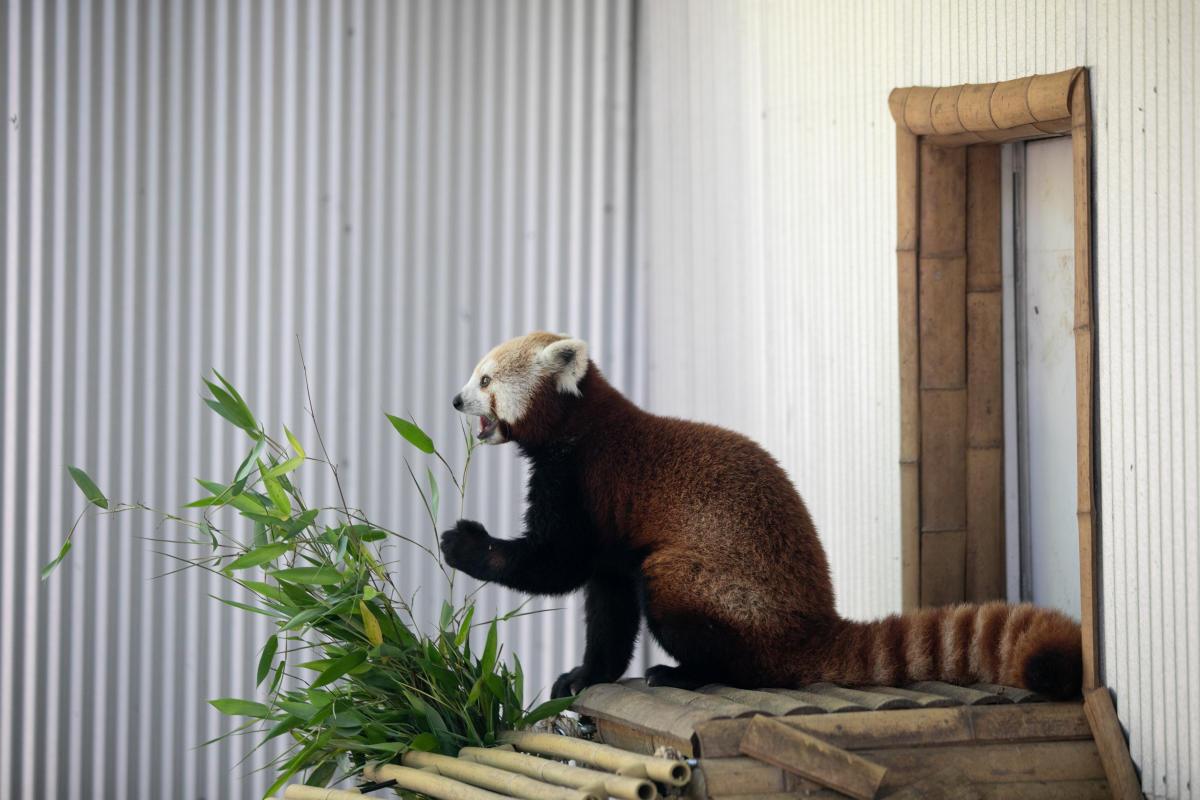 Visit the John Ball Zoo's Red Pandas & More