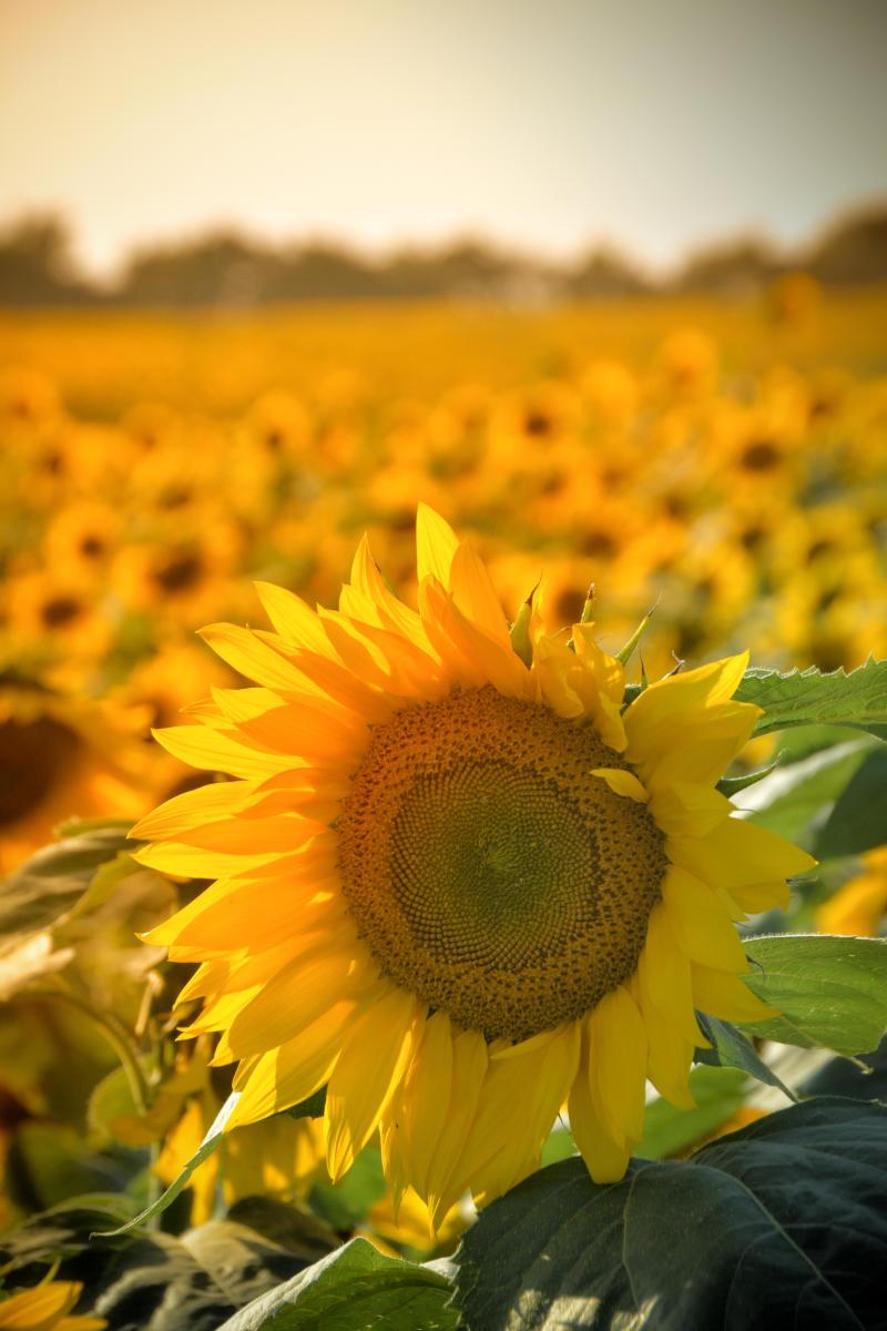 Kansas Sunflowers Yellow Flowers Fields Pick Sunflowers