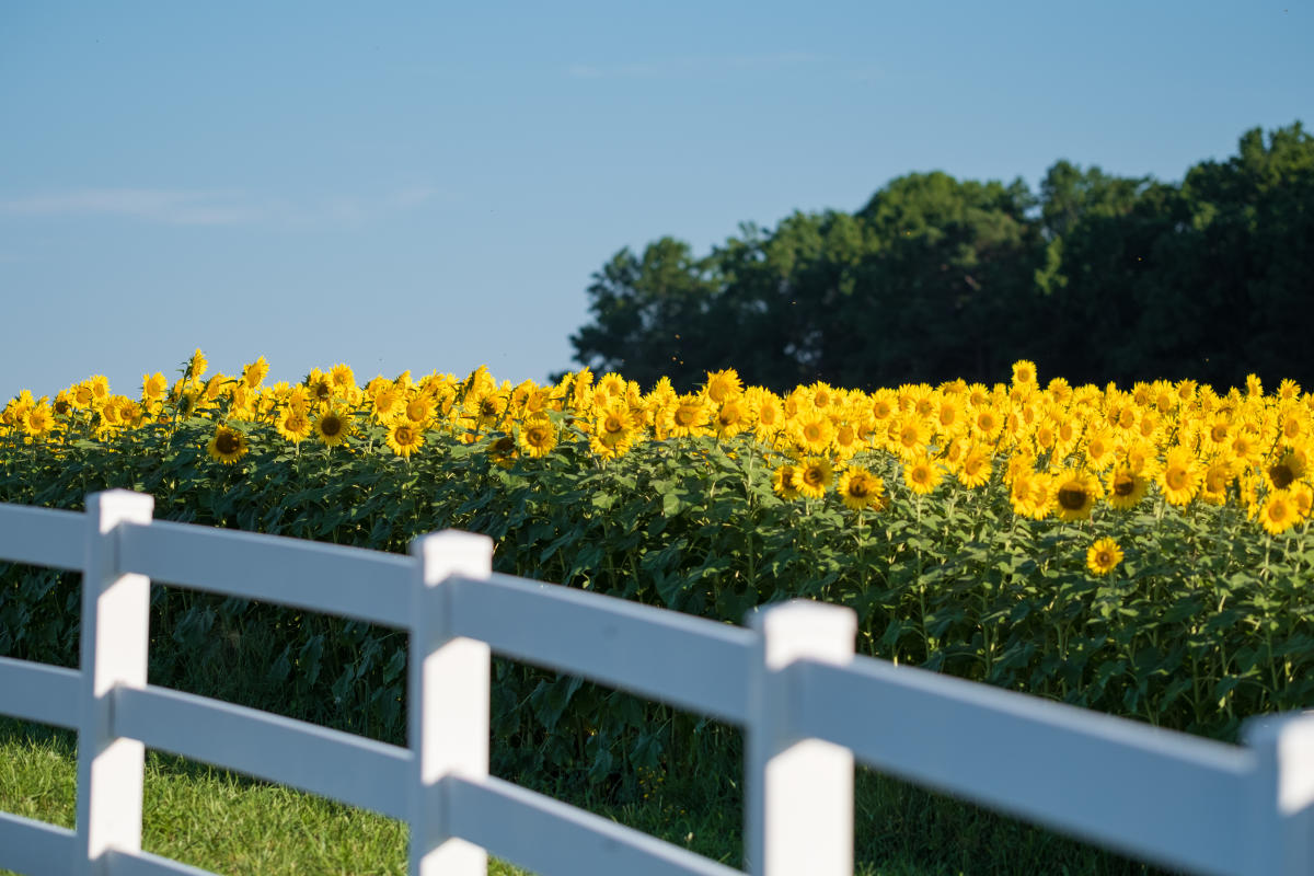 The Neuse River Sunflower Fields In Raleigh Nc