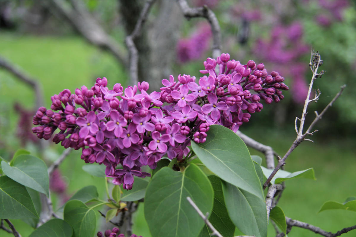 more than lilacs 7 ways to enjoy the rochester lilac festival
