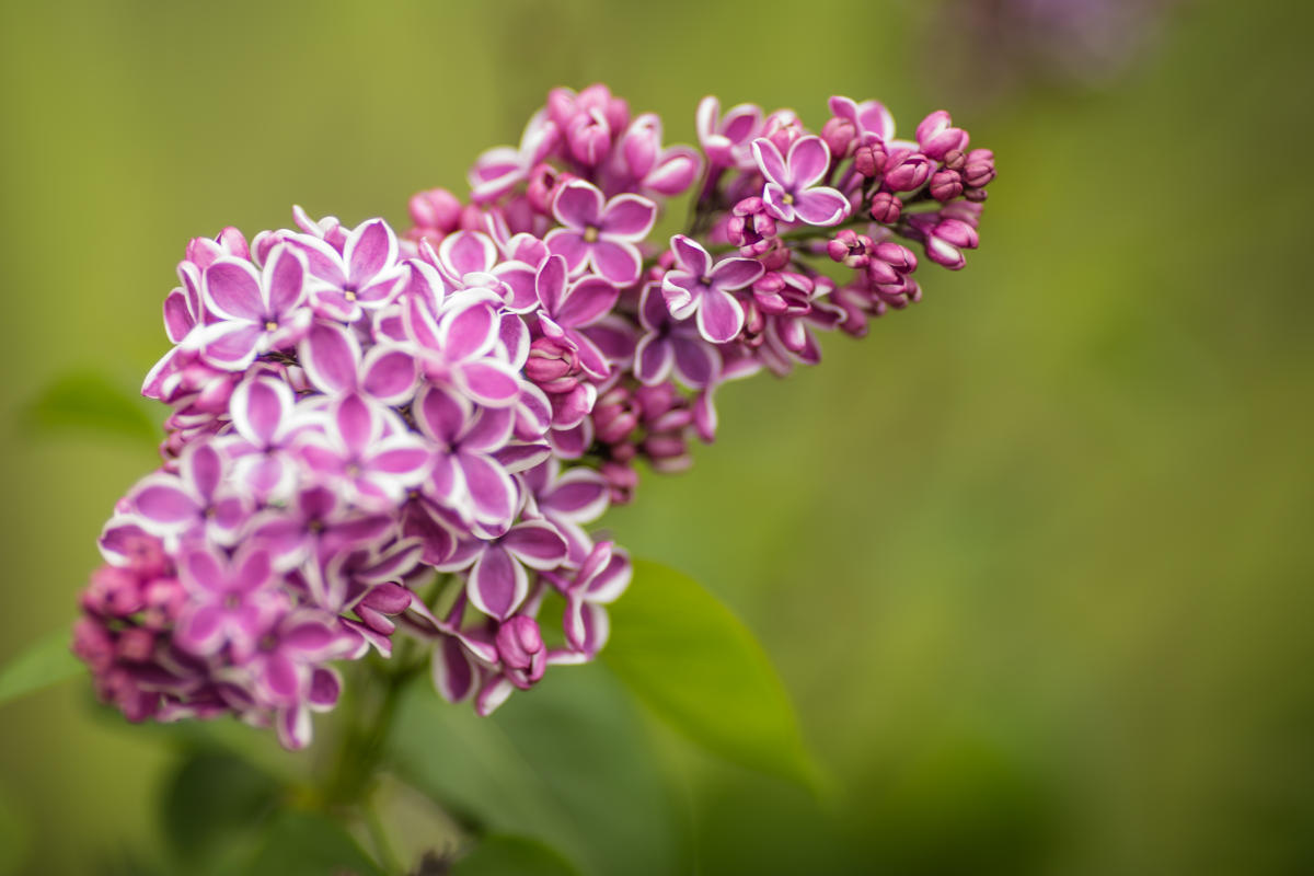 a guide to the rochester lilac festival