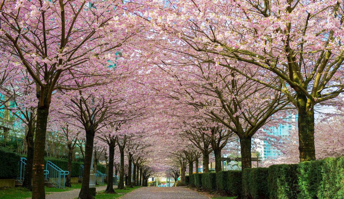 A guide to vancouvers cherry blossoms mightylinksfo