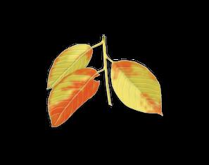 Black Cherry leaf