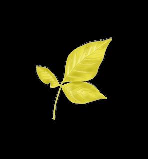 Common Hoptree leaf
