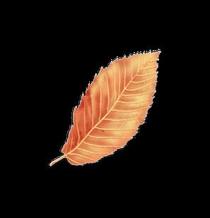 American Hornbeam leaf
