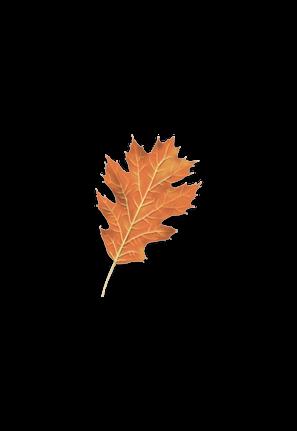 Northern Red Oak leaf