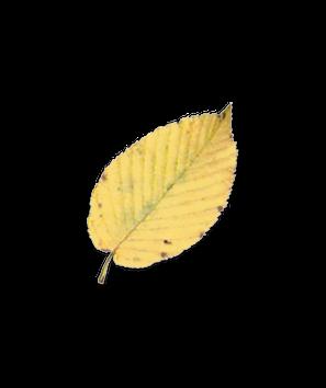 Sweet Birch leaf