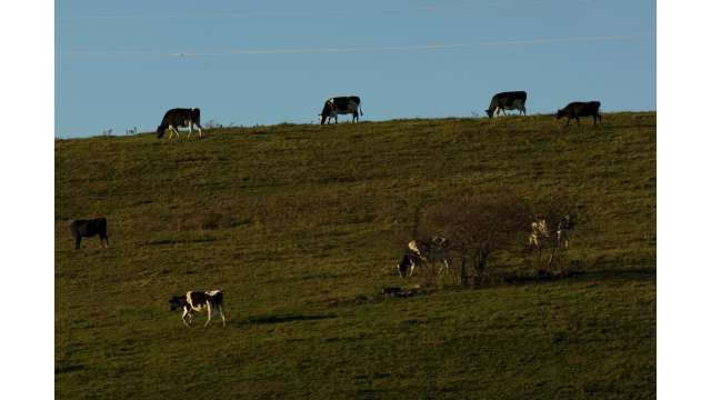Cows on a hill along Route 20