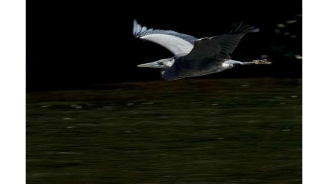 Blue Heron in flight over Esopus 1626