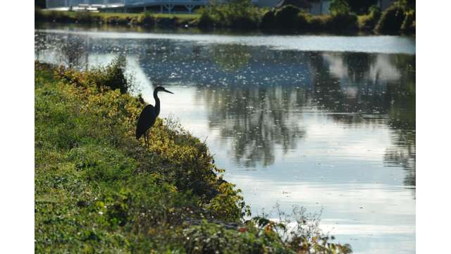 Blue Heron along Erie Canal