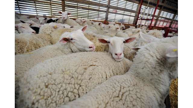 Old Chatham Sheep Herding Company 1197