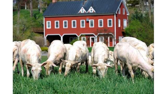 Old Chatham Sheep Herding Company 1200